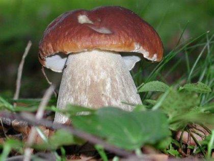 Porcini e altri funghi di Carnia