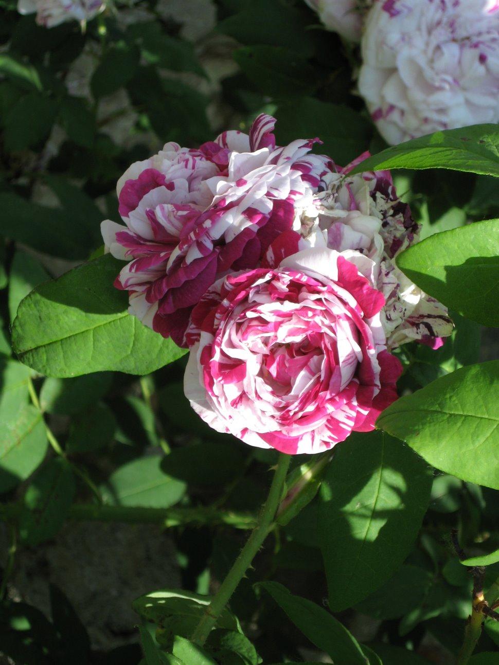 Le rose bourbon. Presentazione del roseto del convento francescano di Kostanjevica