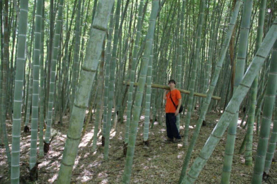 Bamb Gigante Onlymoso.20km Info Eco Investi Nel Bambu Gigante Onlymoso