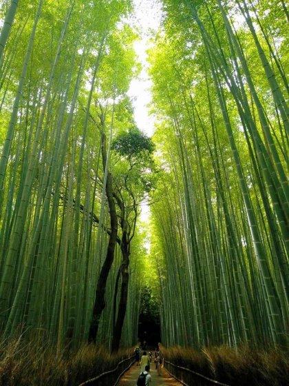Coltivazione Bambù Gigante